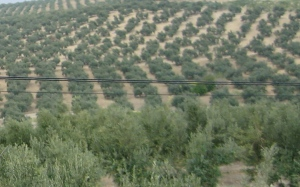 Those are all olive trees, extending for miles, and this was just one small snippet of a 300 mile drive.